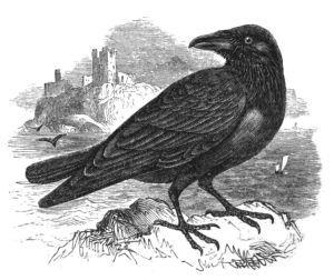 A raven from Natrual History, Birds (1848)